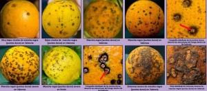mancha negra de los citricos